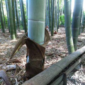 広徳寺の竹