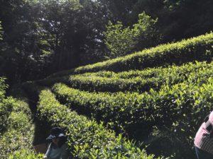 練馬区 廣徳寺の茶畑