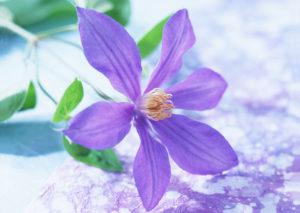 夏の花 テッセン